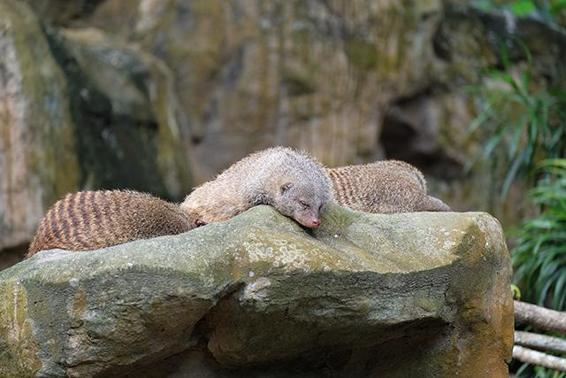 シンガポール動物園で寝るマングース